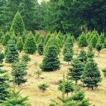 2016 Guide to Christmas Tree Farms in Kansas City