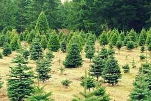 Guide to Christmas Tree Farms in Kansas City | Kansas City Moms Blog