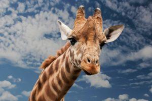 giraffe-614141_960_720