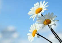 pic of daisies