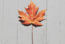 pic of orange maple leaf