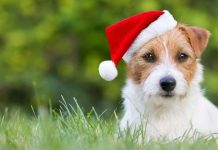 dog in the grass wearing a Santa hat