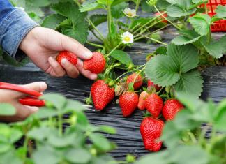 Fun Farm strawberry picking