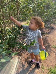 little girl picking blueberries