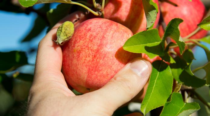 apple picking in Kansas City